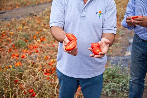 Разработан робот для сборки томатов